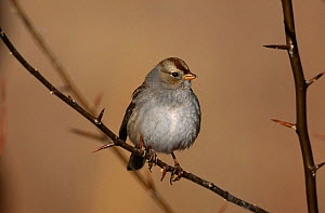 White crowned Sparrow {Zonotrichia leucophrys}, Bosque del Apache, NM, USA. - Tom Vezo