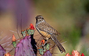 Cactus Wren {Campylorhychus brunneicapillus} perching on Cactus, Arizona, USA.  -  Tom Vezo