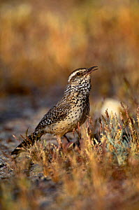 Cactus Wren {Campylorhychus brunneicapillus} singing on ground, Arizona, USA.  -  Tom Vezo