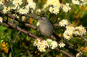 Gray Catbird {Dumetella carolinensis} perching on branch in blossom, Long Island, NY, USA. - Tom Vezo