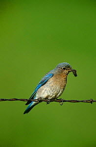 Mountain Bluebird {Sialia currucoides} female perching on barbed wire with prey, Montana, USA.  -  Tom Vezo