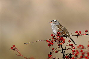 White Crowned Sparrow {Zonotrichia Leucophrys} Bosque del Apache, NM, USA. - Tom Vezo