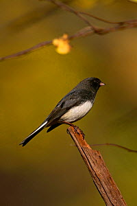Dark-eyed Junco {Junco hyemalis} perching on post, Long Island, NY, USA.  -  Tom Vezo