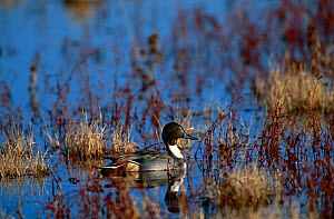 Pintail duck {Anas acuta} profile in wetlands, Bosque del Apache NWR, NM, USA. - Tom Vezo