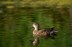 Blue winged Teal duck {Anas discors} on water, Florida, USA.  -  Tom Vezo