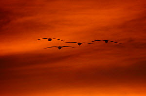 Four Sandhill Cranes {Grus canadensis} in flight at sunset, Bosque del Apache, NWR, NM, USA. - Tom Vezo
