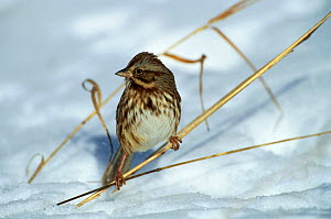 Song Sparrow {Zonotrichia melodia} perching on grass in snow, Long Island, NY, USA.  -  Tom Vezo