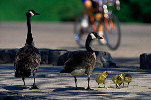 Canada goose {Branta canadensis} pair with goslings on city cycle path, USA  -  Shattil & Rozinski