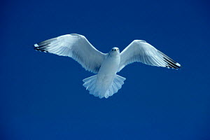 Ring billed gull flying {Larus delawarensis} Colorado, USA - Shattil & Rozinski
