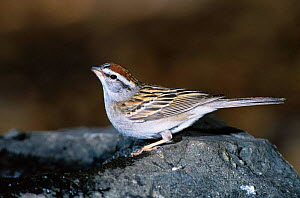 Chipping sparrow {Spizella passerina} Colorado, USA - Shattil & Rozinski