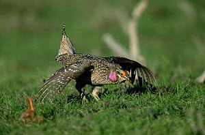 Columbian sharp tailed grouse {Tympanuchus phasianellus} male displaying at lek, USA - Shattil & Rozinski