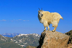 Mountain goat {Oreamnos americanus} standing on rocky summit, Mt Evans, Colorado, USA - Shattil & Rozinski