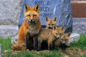 American Red fox {Vulpes vulpes} with cubs in cemetery, Colorado, USA  -  Shattil & Rozinski