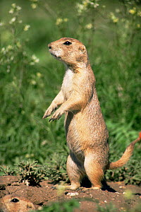 Black tailed prairie dog standing on guard near burrow {Cynomys ludovicianus} Colorado, USA  -  Shattil & Rozinski