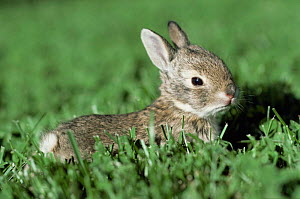 Cottontail {Sylvilagus audubonii} baby rabbit, Colorado, USA - Shattil & Rozinski