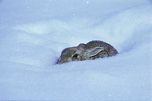 Cottontail in snow {Sylvilagus audubonii} Colorado, USA - Shattil & Rozinski