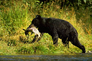 Black bear carrying salmon {Ursus americanus} Alaska, USA - Shattil & Rozinski