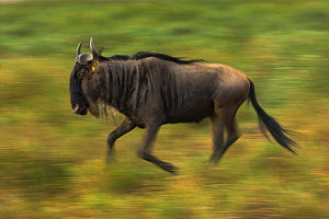 RF- White-bearded Wildebeest (Connochaetes taurinus albojubatus) Serengeti National Park, Tanzania. (This image may be licensed either as rights managed or royalty free.) - Nick Garbutt
