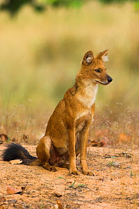 RF- Indian Wild Dog / Dhole (Cuon alpinus) sitting. Bandhavgarh National Park, Madhya Pradesh, India. (This image may be licensed either as rights managed or royalty free.)  -  Nick Garbutt