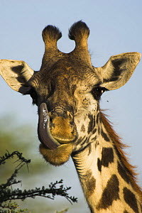 Male Masaai Giraffe {Giraffa camelopardalis} licking nose, Serengeti NP, Tanzania.  -  Nick Garbutt