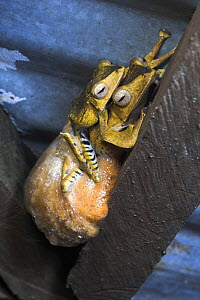 Bornean eared tree frog (Polypedates otilophus) pair in amplexus with foam egg nest in beams of shlelter, Danum Valley, Sabah, Borneo. - Nick Garbutt