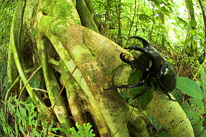 Male Three-horned Rhinoceros beetle {Chalcosoma mollenkampi} on buttress root, lowland rain forest, Danum Valley, Sabah, Borneo. - Nick Garbutt