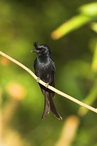 Crested Drongo {Dicrurus forficatus} Anjajavy, north west Madagascar. - Nick Garbutt