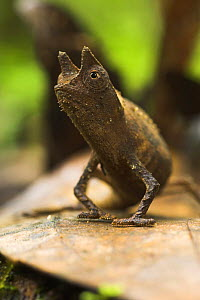 Stump tailed Chameleon {Brookesia superciliaris} portrait, Andasibe-Mantadia NP, east Madagascar.  -  Nick Garbutt