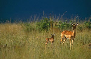 Female Impala (Aepyceros melampus) with young, Masai Mara GR, Kenya - Peter Blackwell