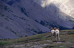 Rear view of Bighorn rams (Ovis canadensis) from behind, Jasper NP, Alberta, Canada  -  Tim Edwards