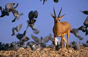 Indian gazelle (Chinkara) (Gazella bennetti) with flock of Common pigeons, Lohawat, Rajasthan, India  -  Bernard Castelein