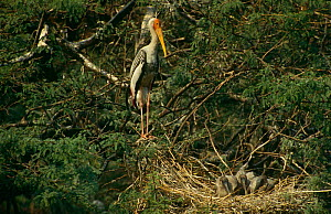 Painted Stork {Mycteria leucocephala} stands guard over chicks in nest, Keoladeo NP, Bharatpur, Rajasthan, India - Ashok Jain