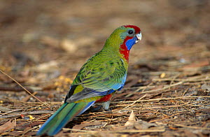 Crimson Rosella {Platycercus elegans} Jervis Bay, New South Wales, Australia  -  Brent Hedges