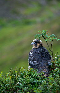 Peregrine falcon {Falco peregrinus} Young female fledgling, Scotland, UK  -  Brian Lightfoot