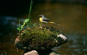 Gray Wagtail {Montacilla cinerea] Female with insect prey, Sweden  -  Bengt Lundberg