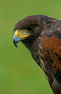 Harris' Hawk {Parabuteo unicintus} juvenile male, captive, UK  -  Chris O'Reilly