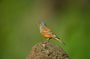 Cretzschmar's Bunting {Emberiza caesia} male singing, Greece  -  Colin Preston