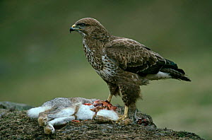 Common buzzard {Buteo buteo} with rabbit prey, UK  -  Colin Preston