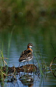 Northern / Red Necked Phalarope {Phalaropus lobatus} male, UK  -  Colin Preston