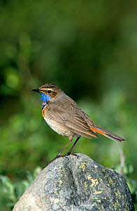 Red Spotted Bluethroat {Luscinia svecica svecica} Male, Norway  -  Colin Preston