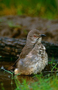 Curve billed thrasher {Toxostoma curvirostre} bathing, Texas, USA  -  David Welling