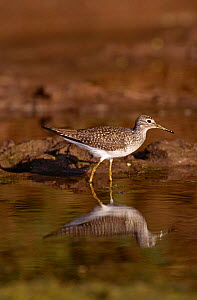 Lesser Yellowlegs {Tringa flavipes} at water, Texas, USA  -  David Welling