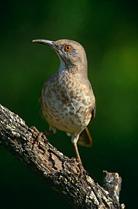 Curve billed thrasher {Toxostoma curvirostra} Texas, USA  -  David Welling