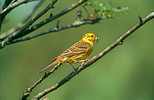 Yellowhammer {Emberiza citrinella} with insect prey, Netherlands  -  Flip de Nooyer