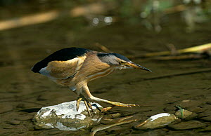 Little Bittern {Ixobrychus minutus} crossing river, Lesvos, Greece  -  George McCarthy