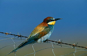 Blue cheeked bee eater {Merops superciliosus} perched on wire, Lesvos, Greece  -  George McCarthy