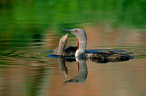 Red throated diver {Gavia stellata} chick begging for food, Canada  -  Jose Schell