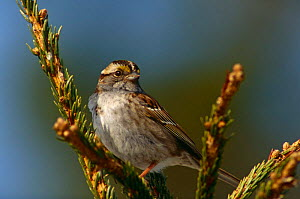 White-throated sparrow {Zonotrichia albicollis} Anticosti Island, Quebec, Canada  -  Jose Schell