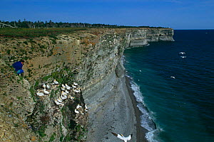Northern gannet {Morus bassanus} nesting colony on sea cliffs, Anticosti Is, Quebec, Canada  -  Jose Schell