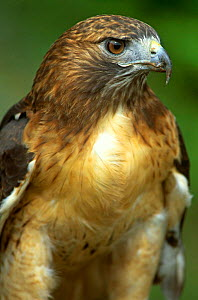 Red tailed hawk {Buteo jamaicensis} Wisconsin, USA  -  Larry Michael